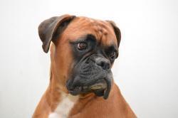 boxer chien